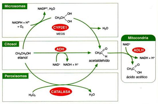 metabolismo-alcohol
